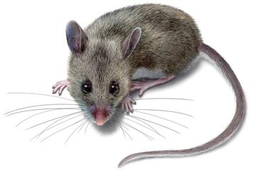 deer-mouse-illustration_360x244